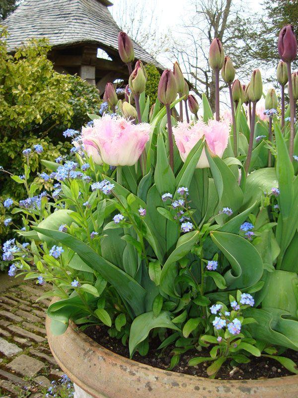 Tulip 'Aria Card' and blue myosotis - click to enlarge