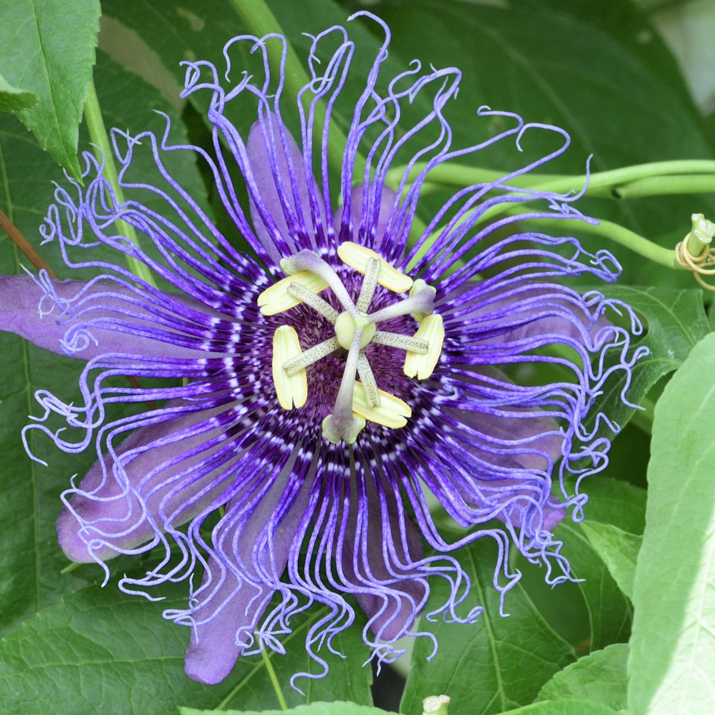 Passion Flower Passiflora Incense Fragrant In 2020 Passion Flower Purple Passion Flower Easy To Grow Bulbs