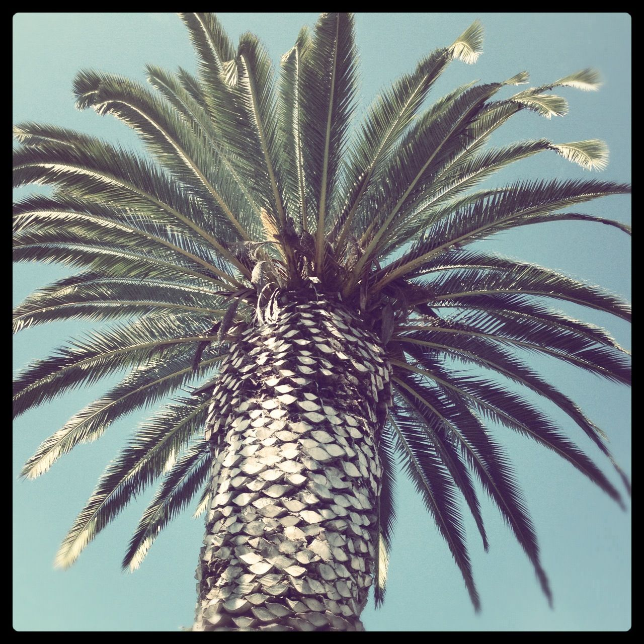 Not all palm trees are created equally. This one, which is located in the Muirlands area of La Jolla, is a beauty!