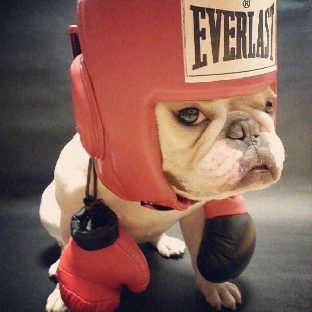 I Said I Want To Do Mma Welpen Niedliche Welpen Franzosische Bulldogge