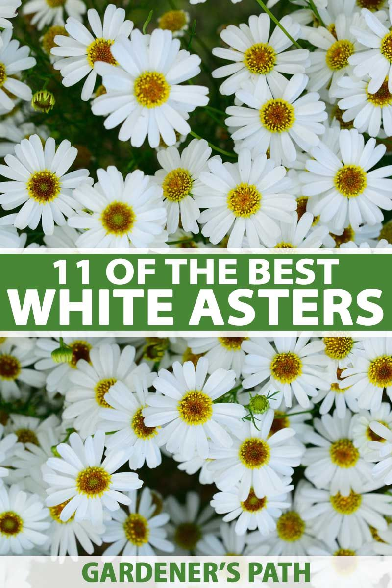 Best 11 Varieties Of White Aster Flowers For Your Garden Gardener S Path In 2020 Cottage Garden Design Aster Flower Cottage Garden