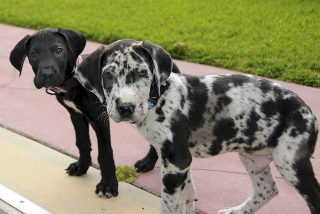 The Great Dane Dog Is A Well Mannered Family Companion Great
