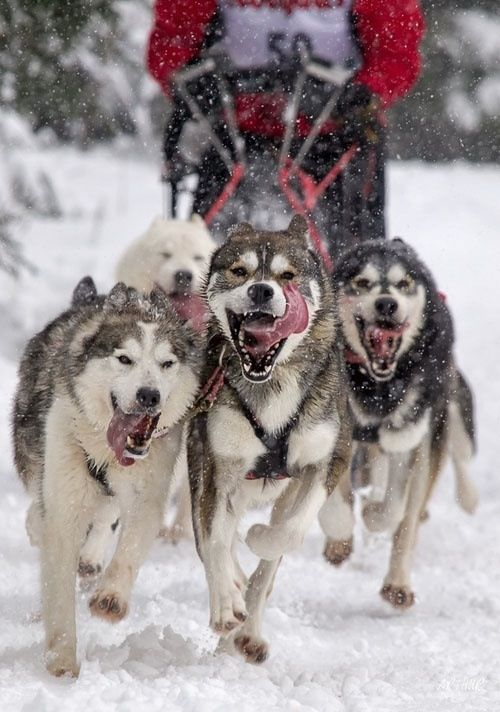 Dashing Through The Snow Dogs Dog Sledding Cute Dogs Therefore, training must begin as early as two to three months of age, so that you lead and not. pinterest