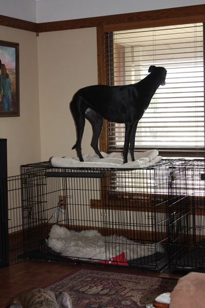 Annie figured out another use for her crate . . . And, she thinks the view's much better up here! Sarah Regan Snavely » Living with Greyhounds