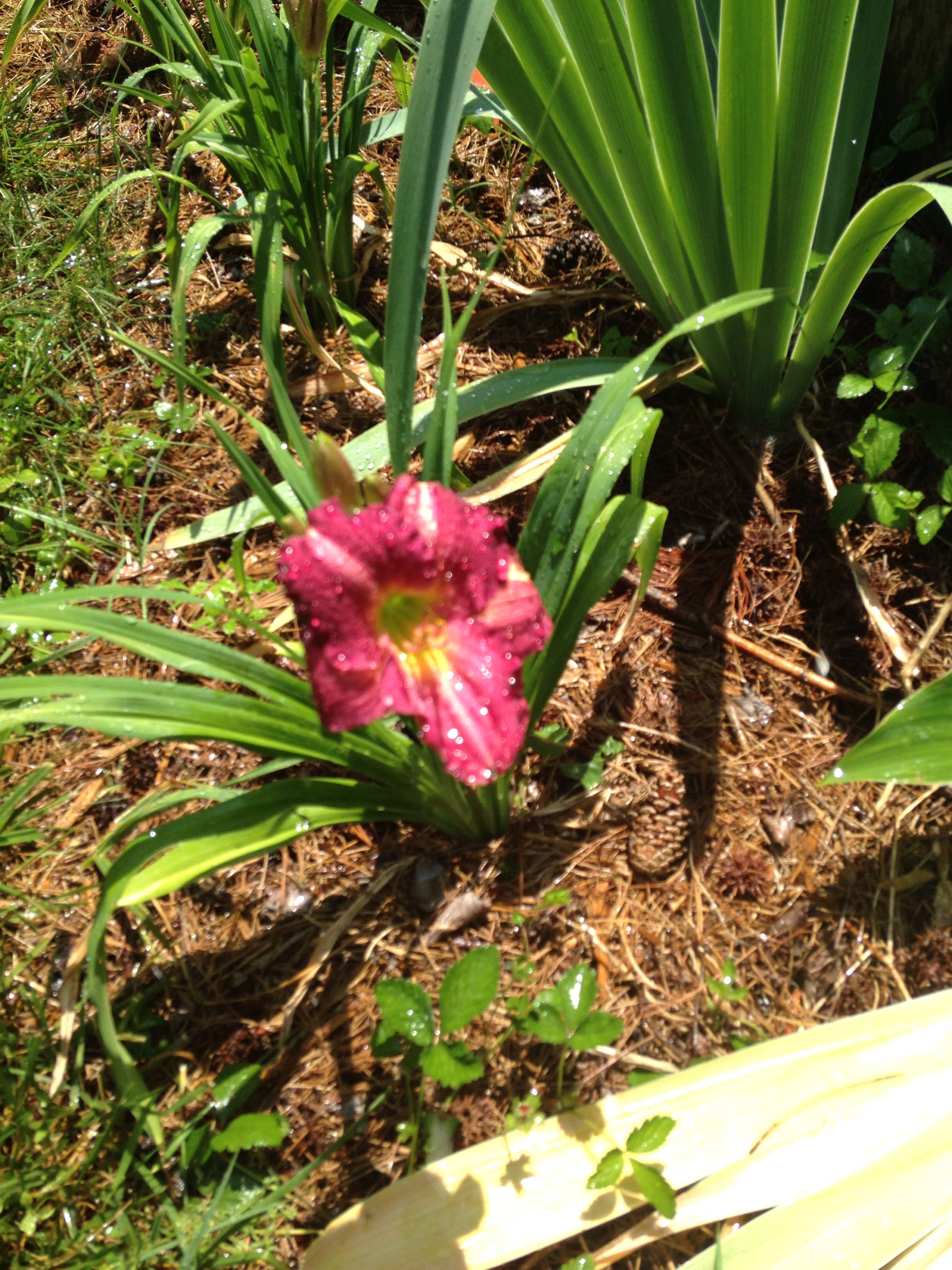 Day lily fence border   Yardening   Pinterest   Fence, Day lilies ...