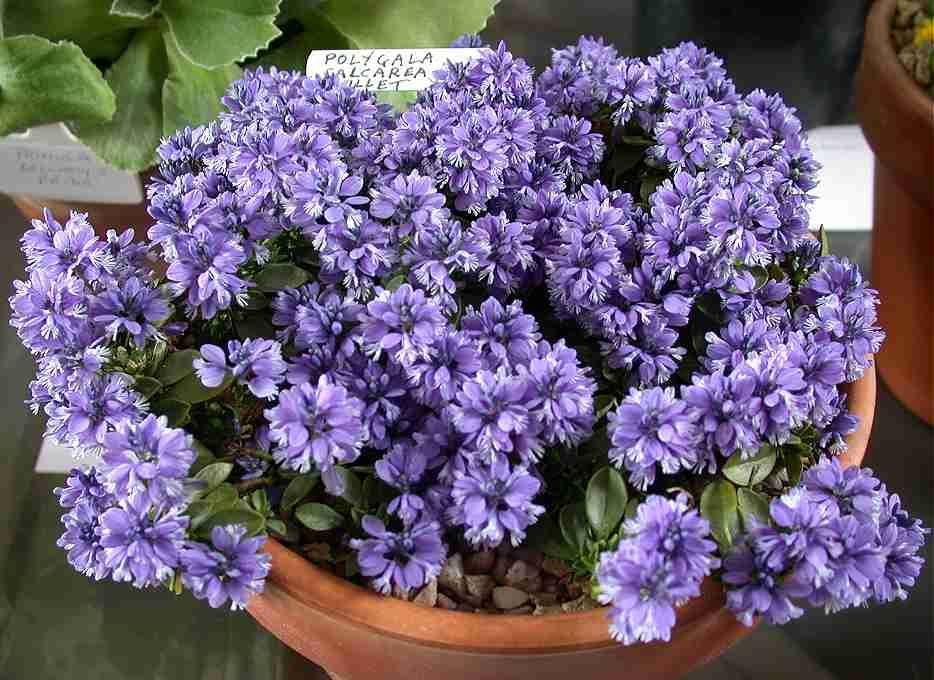 Polygala Calcarea Rock Plants Alpine Flowers Rare Plants