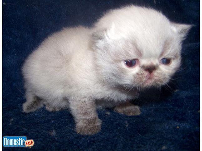 Cfa Hiimalayan Persian Kittens For Sale Persian Kittens Kitten