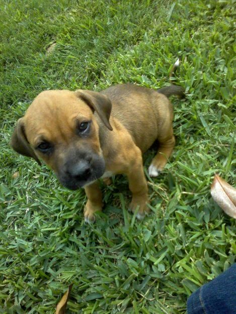 Puppies 8 Weeks Old 2 Litters Boxer Mix And Golden Retriever Mix