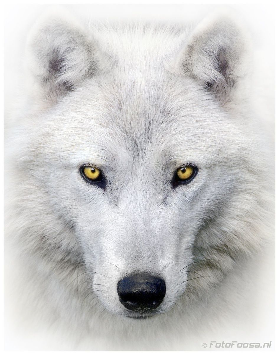 a09dd45ab Arctic Wolf · Portrait post processed in CS5 Please use the 'M' Key to  maximize the picture