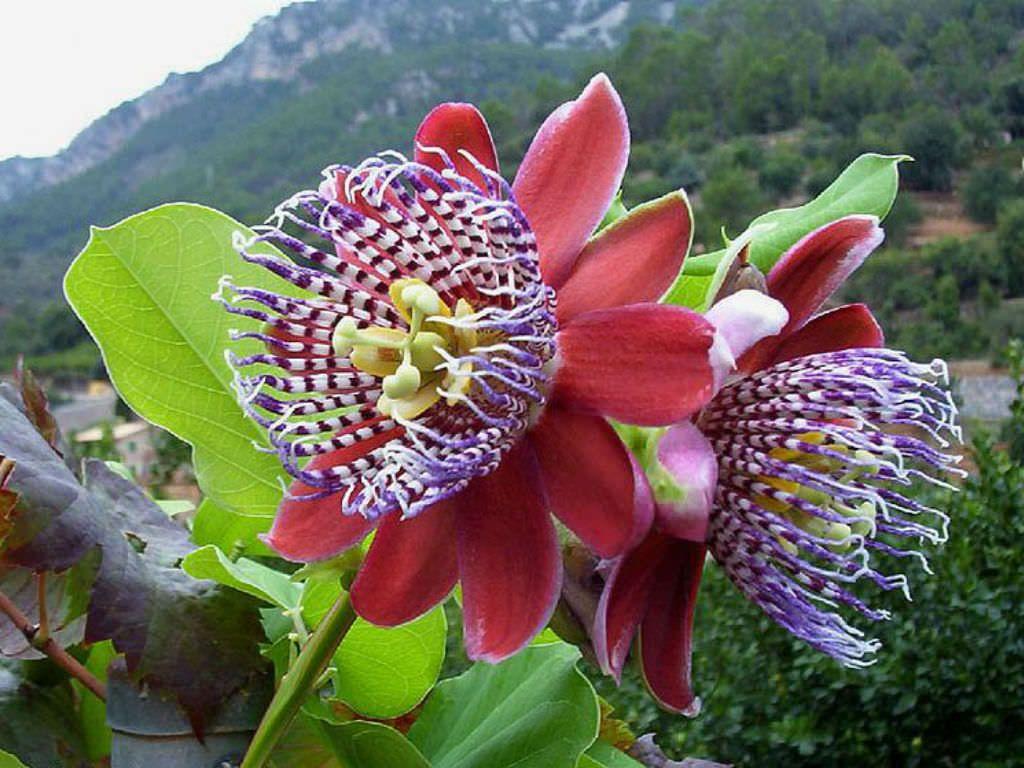 Passiflora Alata Winged Stem Passion Flower World Of Flowering Plants Passion Flower Plant Flowers Passion Flower