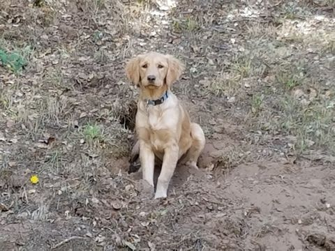 Golden Retriever Puppy For Sale In Aptos Ca Adn 51154 On