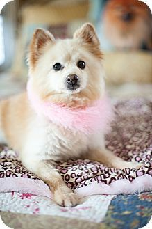 Adopted Dallas Tx Pomeranian Mix Meet Tinkerbell A Dog W