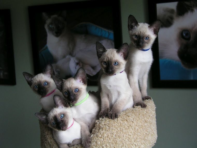 Carolina Blues Cattery Siamese Kittens For Sale Siamese Kittens Siamese Cats For Sale Siamese Cats