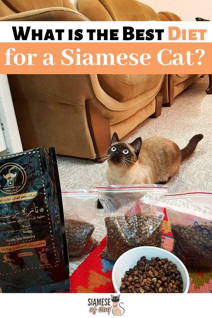6 Ways to Care for Siamese Cats Healthy cat food