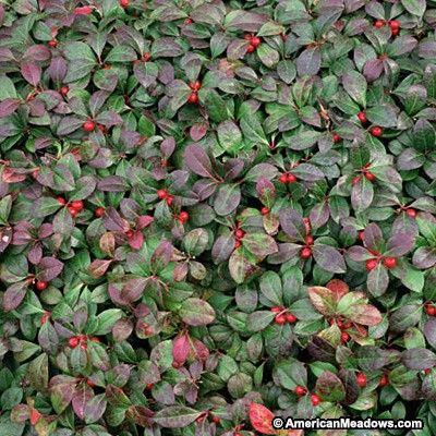 Gaultheria procumbens 9cm Pot Size