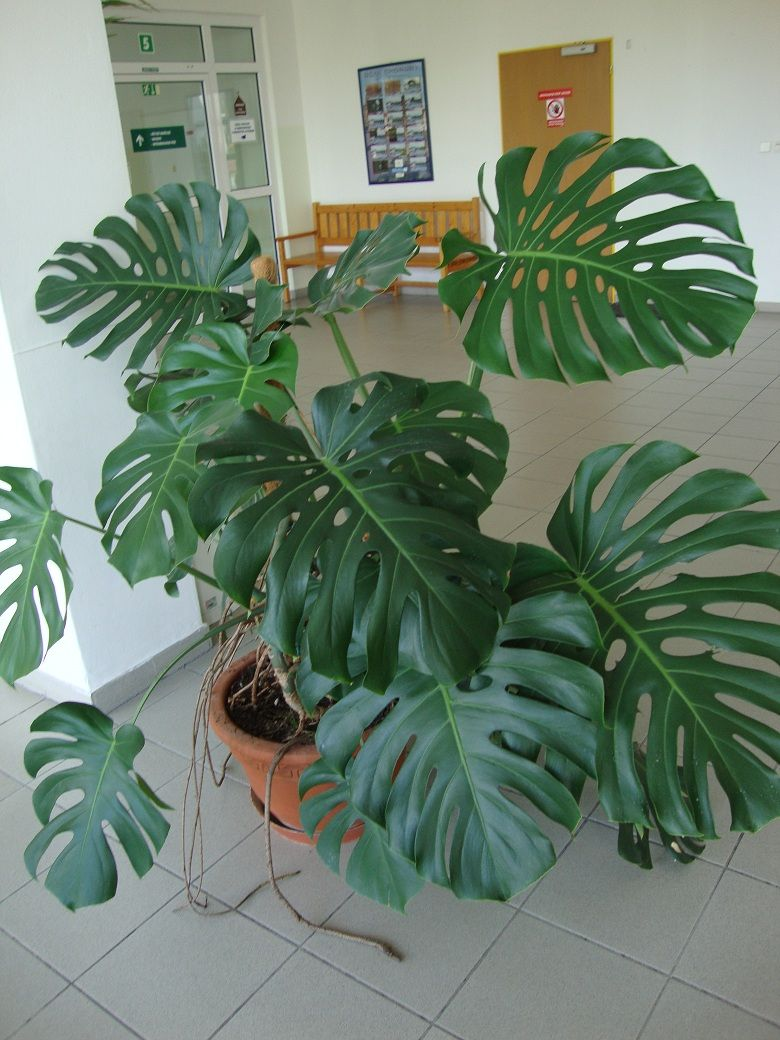 Someday Someone Will Buy Me A Monstrosa Deliciosa It Doesn T Have To Be This Big Swiss Cheese Plant Monstera Deliciosa Plants