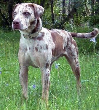 The Louisiana Catahoula Leopard Dog or Catahoula Cur is an