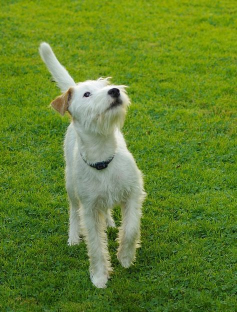 Jack Russell Parson Russell Terrier 2 Der Parson Russell