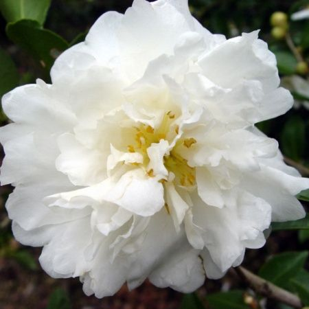 Camellia Sasanqua Mine No Yuki Sparkling White Semi Double Blooms In The Fall Low Hedge Or Foundation Pla Plants Front Yard Landscaping Design Shade Shrubs