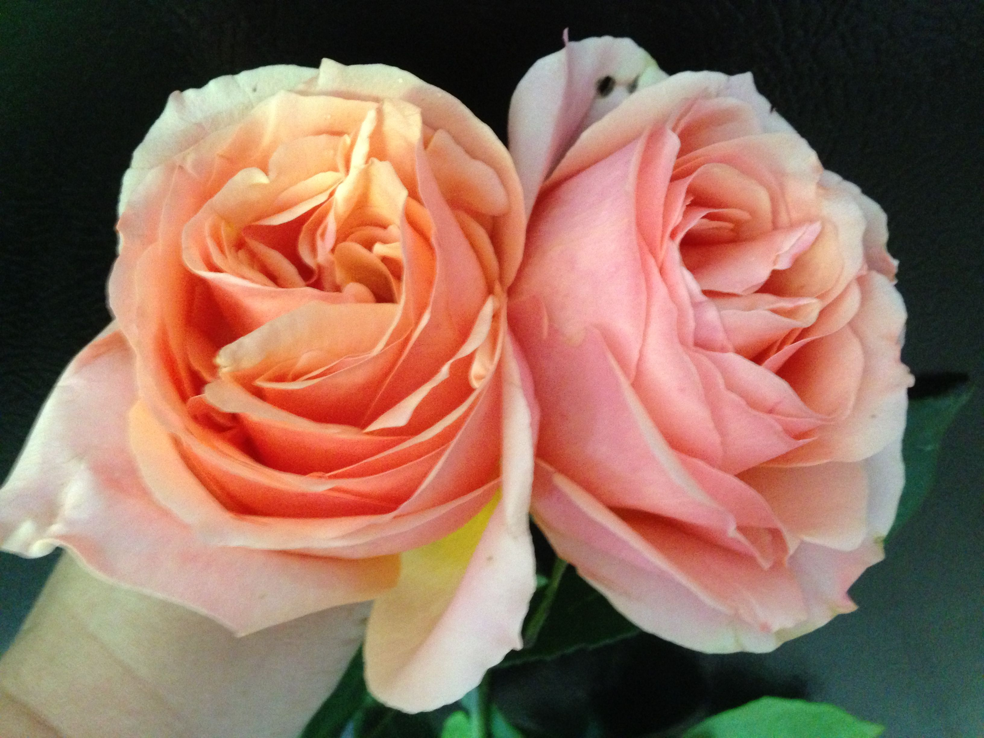 pink campanella garden roses all year
