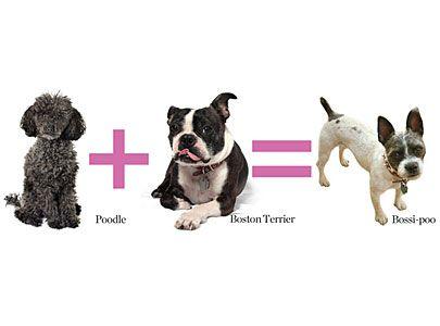 7 Designer Dogs You Ve Never Heard Of Dogs Boston Terrier