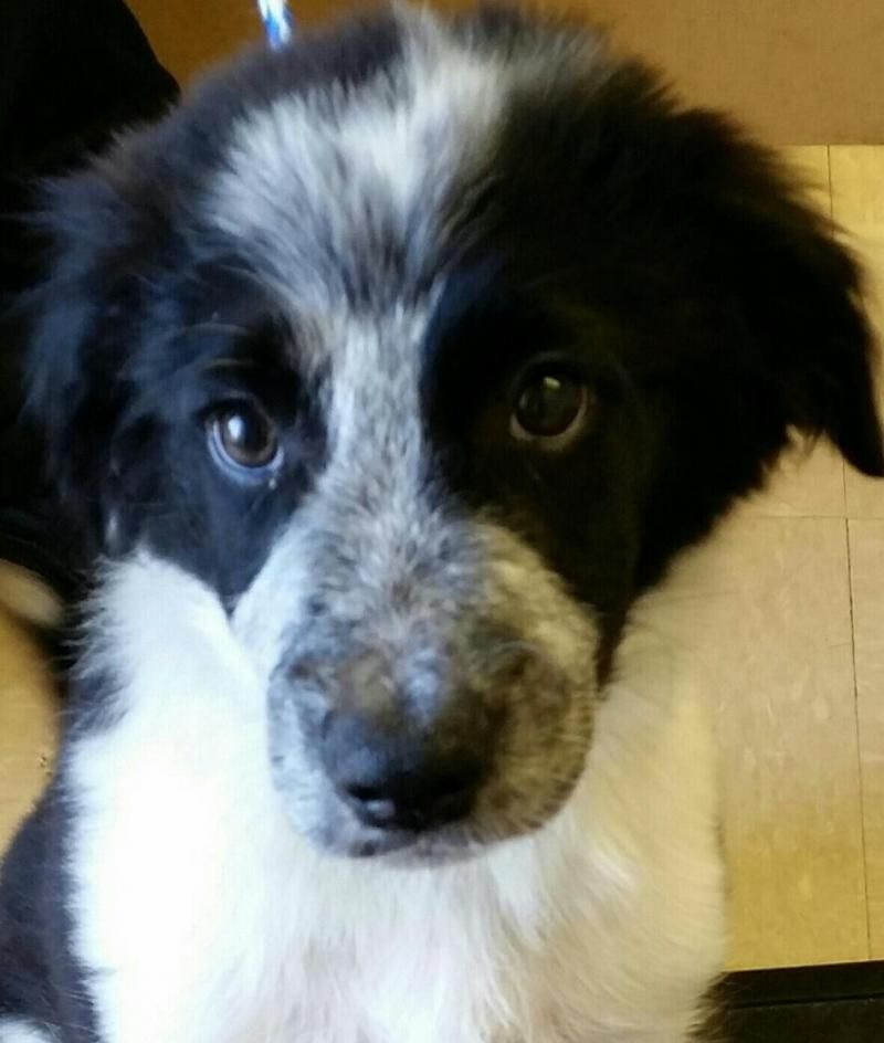 Meet Bullet A Petfinder Adoptable Border Collie Dog Austin Tx Note Apply To Adopt At Http Forgotte Border Collie Dog Collie Dog Puppies