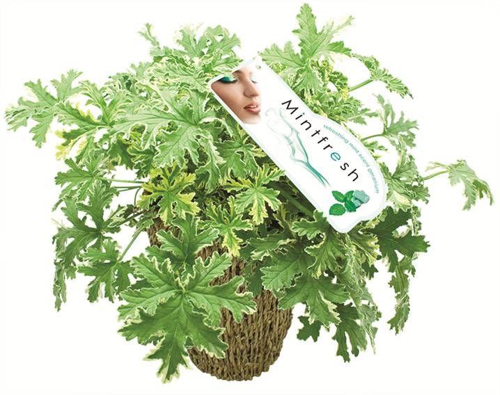 Pelargonium Mintrosa Lady Diana - Pedro Plant