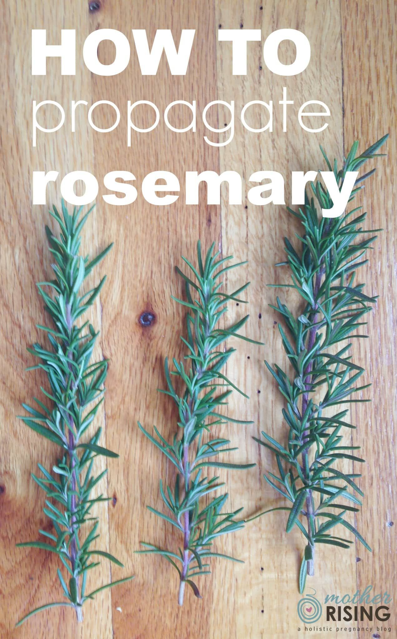 How To Propagate Rosemary In Water Mother Rising Propagate Rosemary Rosemary Plant How To Propagate Lavender