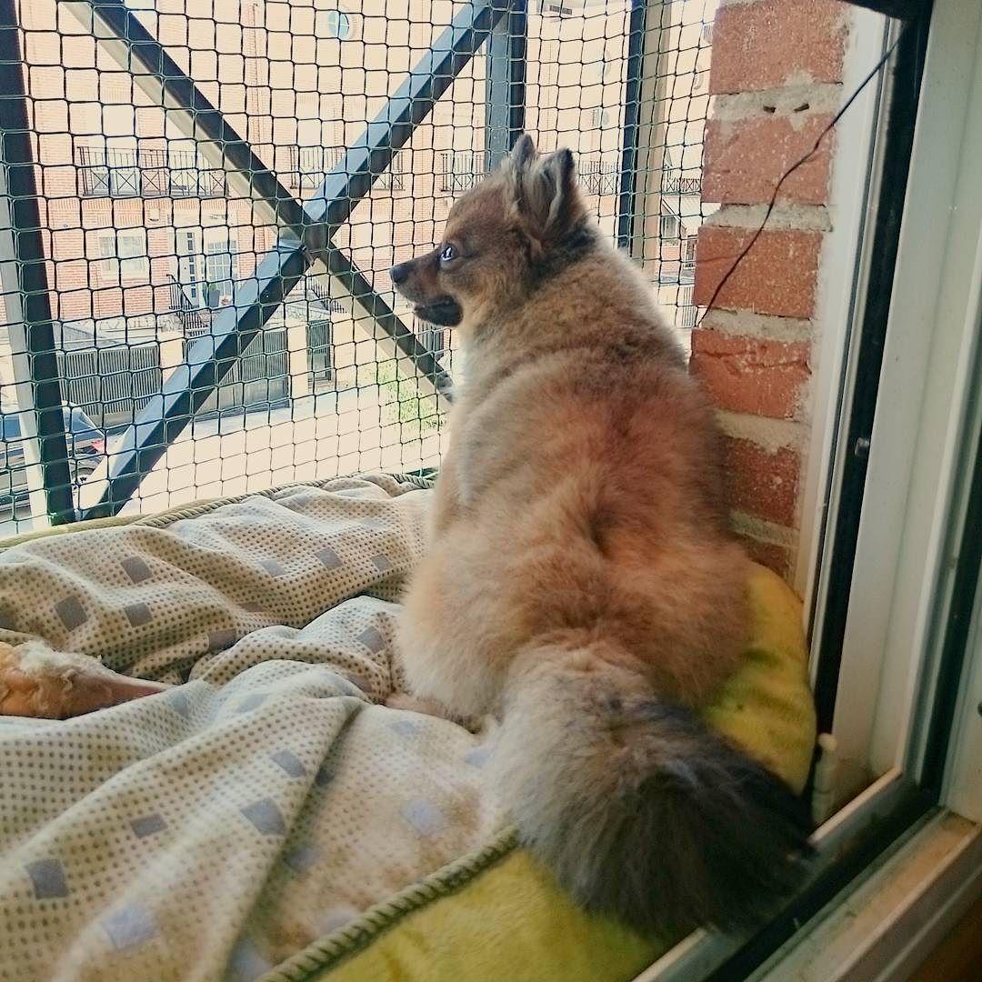 Parece un zorrillo  #pomeranian #cute #dogsofinstagram #instadog #spitz #dog #love #pom #petstagram  #dogstagram #lulu #fluffy #puppy #pet #luludapomerania  #dogoftheday #cane #instapom #pomstagram #pompom #instapuppy #germanspitz #boutiquedenancy