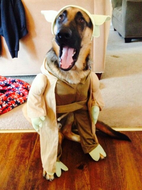 German Shepherd Titan In A Yoda Costume Happy Halloween German