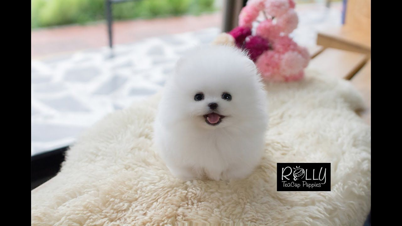 Image result for teacup pomeranian puppy ne kadar #teacuppomeranianpuppy