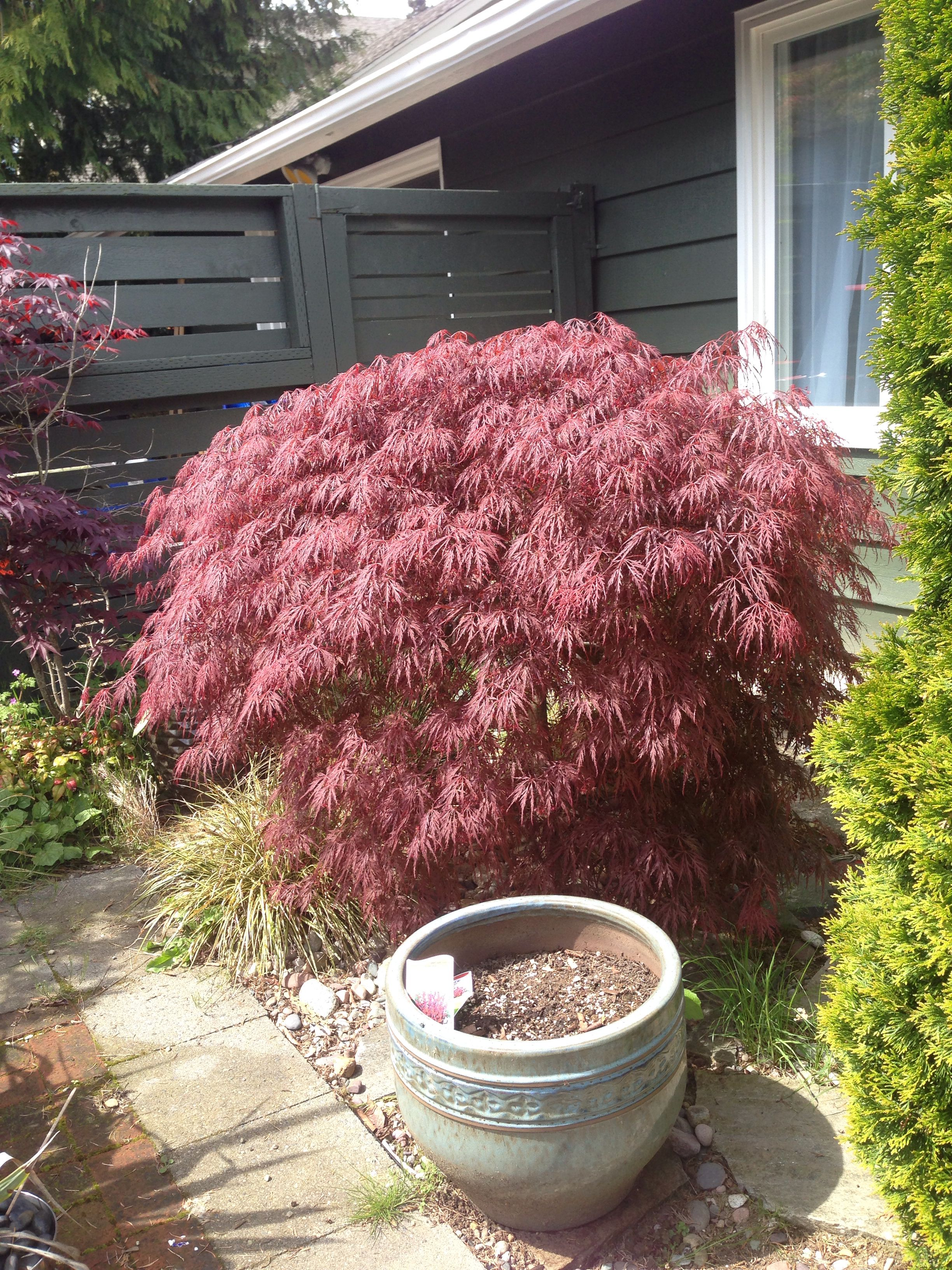 Japanese Maple From Costco Plants Japanese Maple Garden