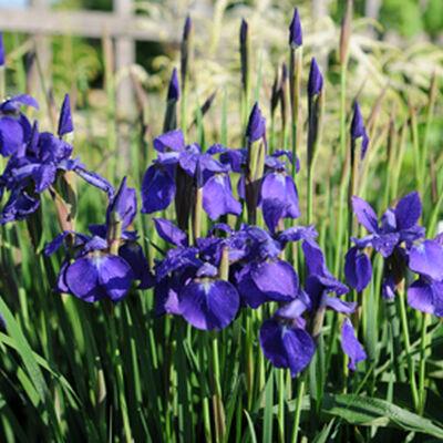 Trees Where To Plant Irises Irises Landscaping Dividing Irises Irises Landscaping Ideas Moving Irises Irises In 2020 Growing Irises Iris Flowers Garden Iris Garden