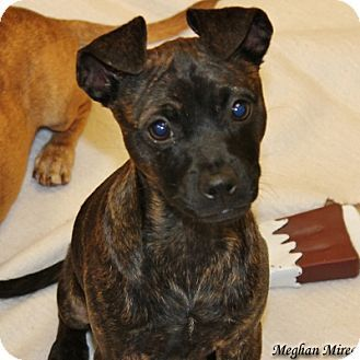 San Mateo Ca Chihuahua Mix Meet Peanut A Puppy For Adoption