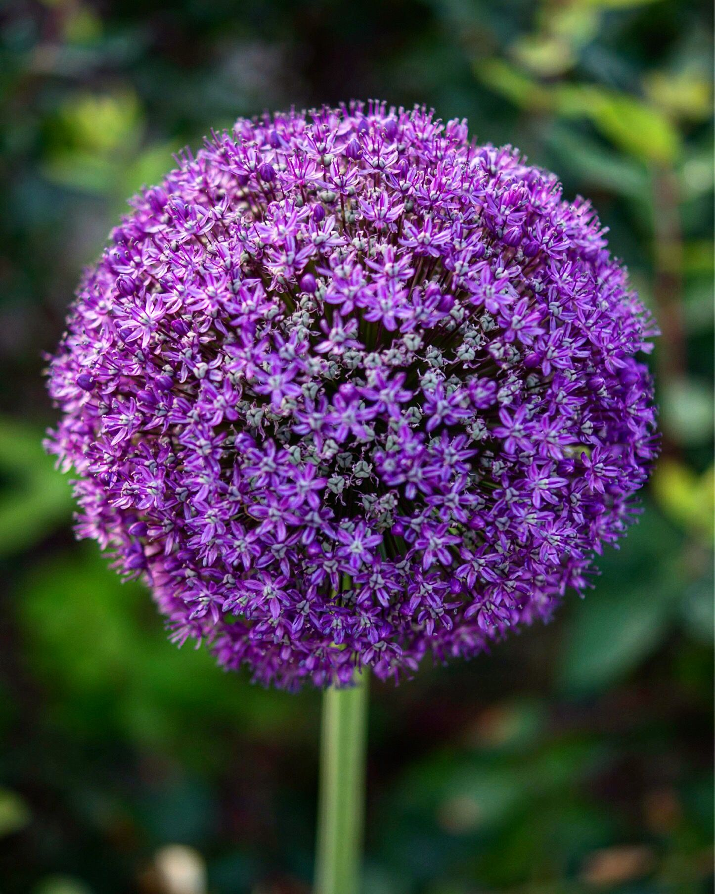 Flower in the form of a ball