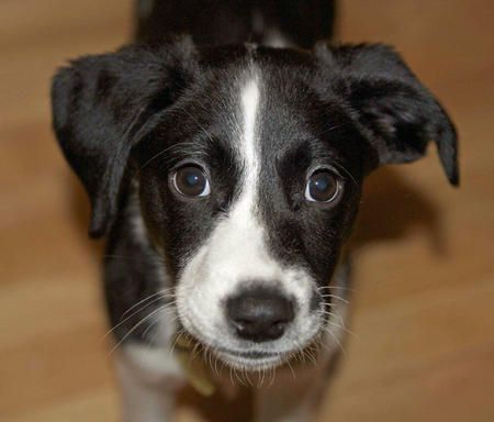 Ollie The Border Collie Mix Lab Mix Puppies Border Collie Mix White Border Collie