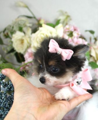 Teacup Pomeranian Puppies, Pomeranian dogs #teacuppomeranianpuppy Teacup Pomeran... - #Dogs #pomeran #pomeranian #puppies #teacup #teacuppomeranianpuppy #teacuppomeranianpuppy