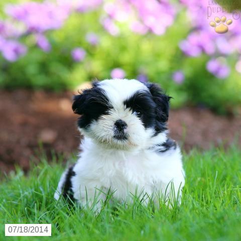Shih Tzu Puppy For Sale In Pennsylvania Shih Tzu Puppy Shih Tzu