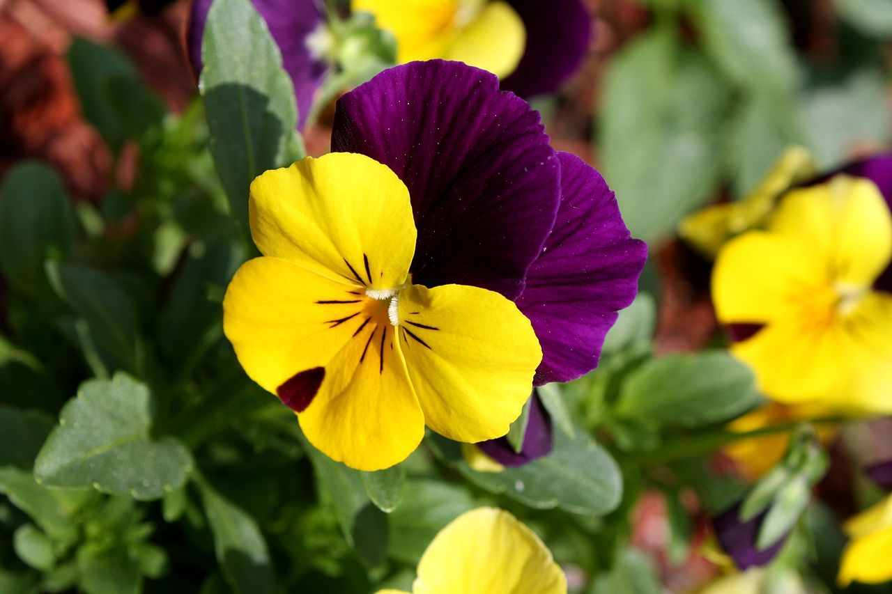 Pin By Sondra Sweeney On Garden Flowers I Love Pansies Flowers Flower Close Up Most Popular Flowers