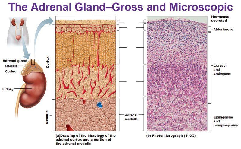 Adrenal Cortex Gland Gross Anatomy Histology Aldosterone