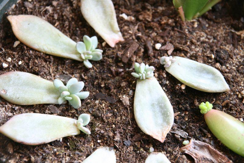 Bouturer Les Plantes Grasses Multiplier Les Succulentes Comment