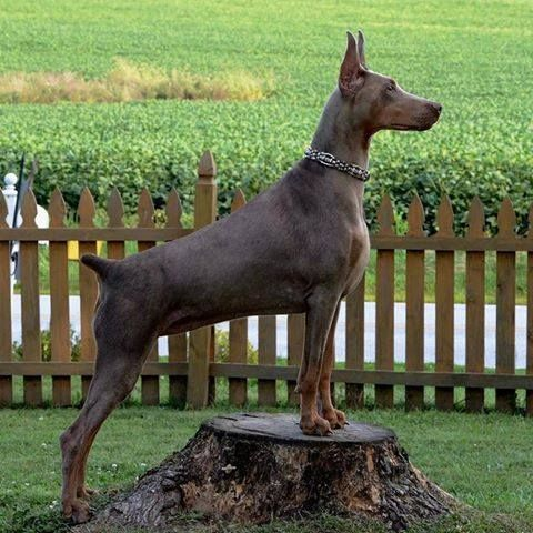 Awesome shot of the always regal Doberman!