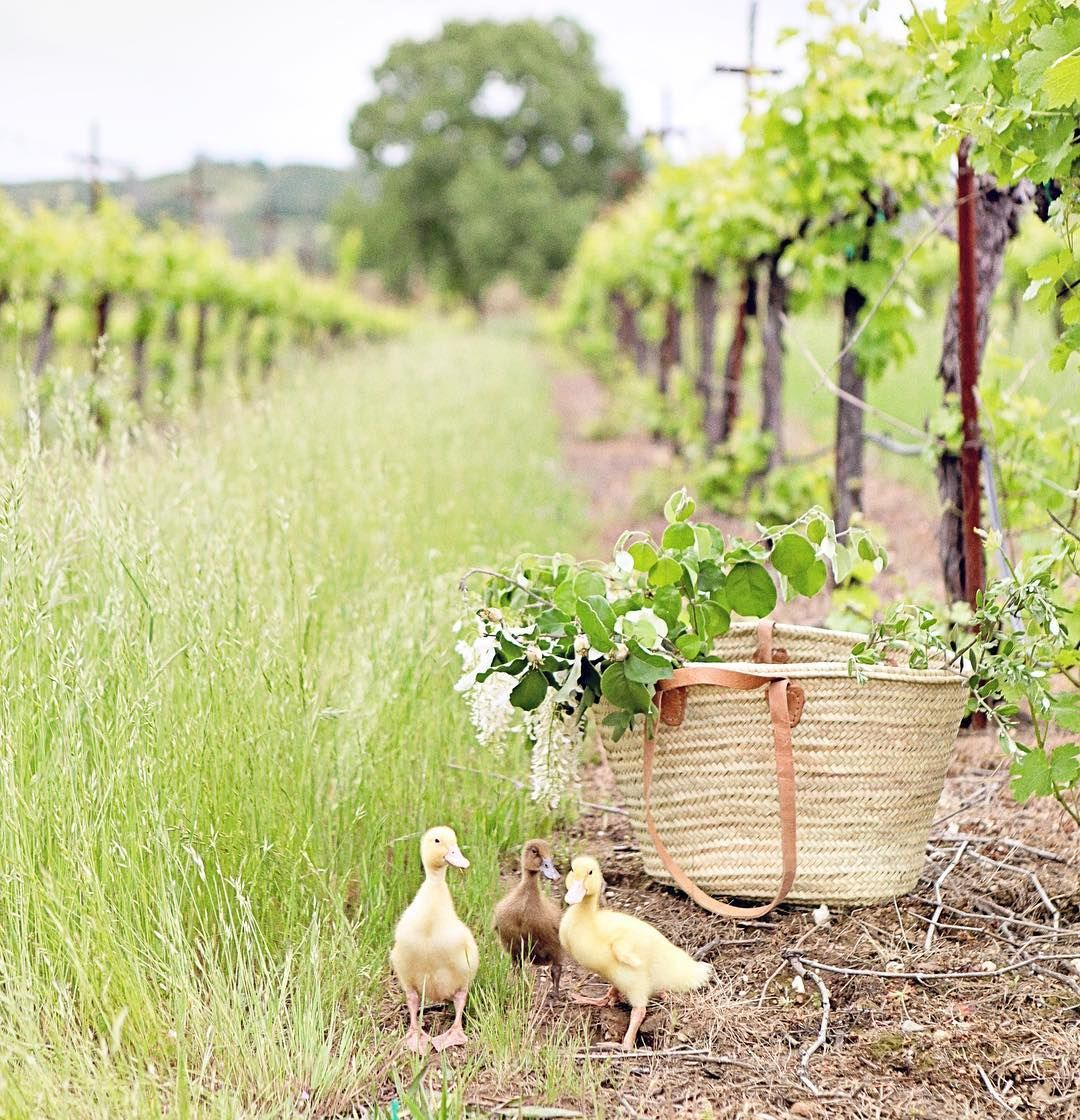 Adorable fuzzy ducklings in a field with a French farmhouse market basket - Dreamy Whites Atelier. #springinspiration #frenchfarmhouse #ducklings #dreamywhites