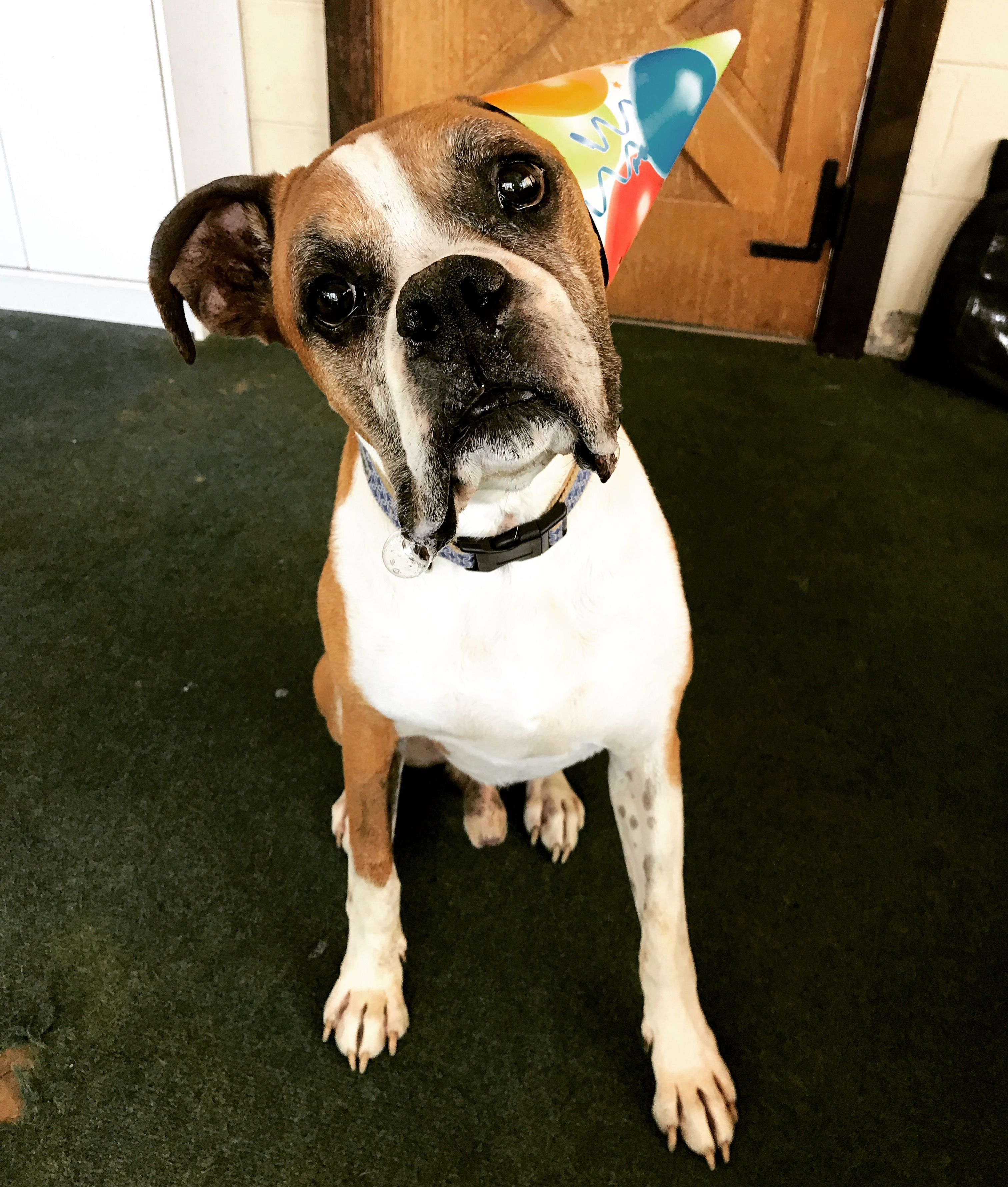 Boxer dog for Adoption in Akron, OH. ADN597809 on