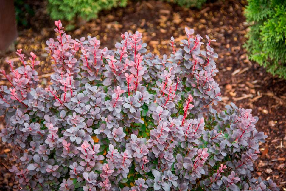 Concorde Barberry Berberis Thunbergii Landscaping Plants Shrubs Dark Purple