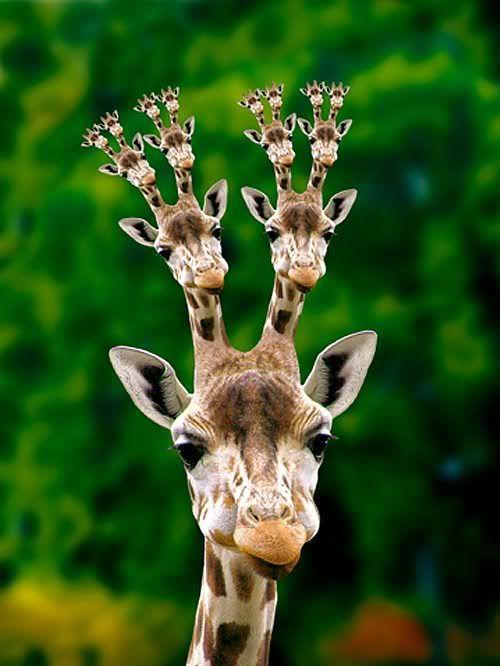 画像 今度キリンを見た時に思い出しそうなキリンの画像 Giraffe Giraffe Pictures Giraffe Funny