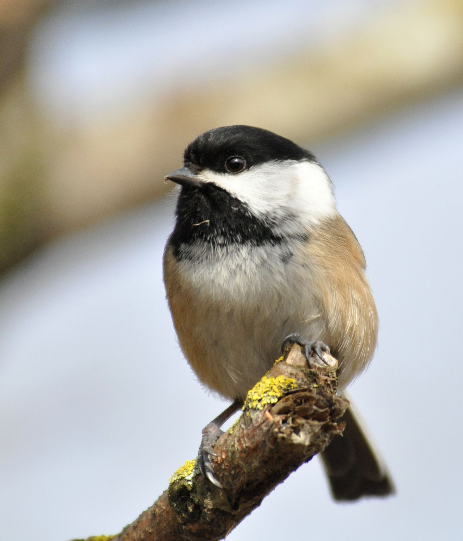 The Black-capped Chickadee was the 9th most spotted bird ...