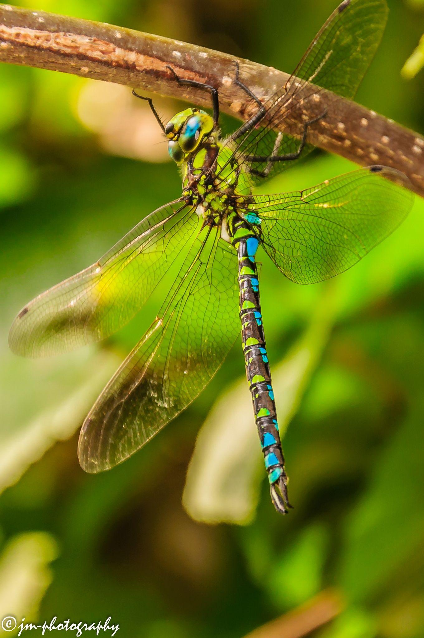 Dragonfly トンボ 虫 蜻蜓