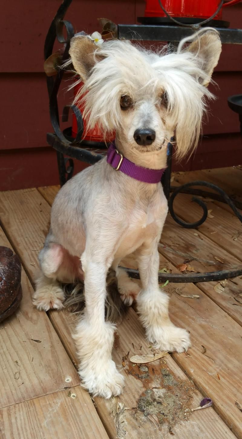 Adopt AceAdoption pending on Petfinder Chinese crested