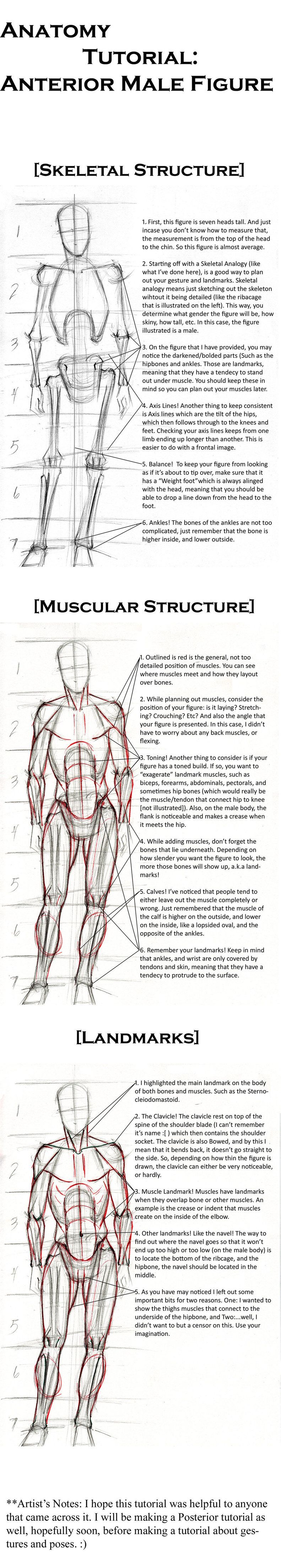 Anatomy Tutorial: Anterior. by Life-Symphony.deviantart.com on ...